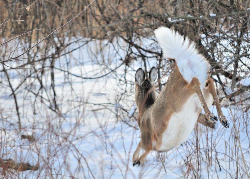 hjortdoewhitetail arkivfoton