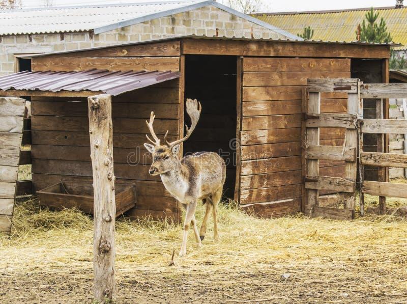 Hjorten lämnar huset och går royaltyfri bild