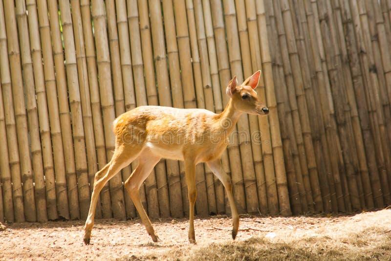 Hjorten lyfts i zoo arkivfoto