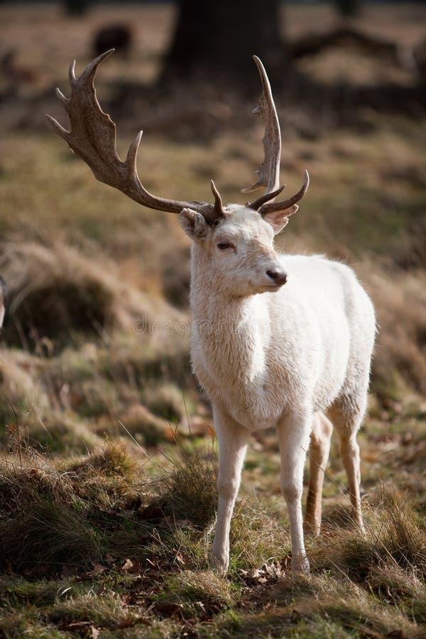 hjortfullvuxen hankronhjortwhite royaltyfria foton