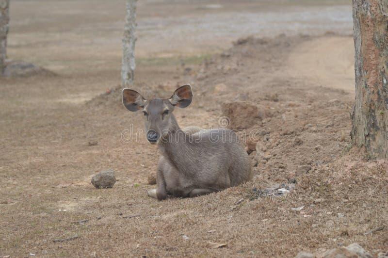 hjortkhaonationalpark yai royaltyfri foto