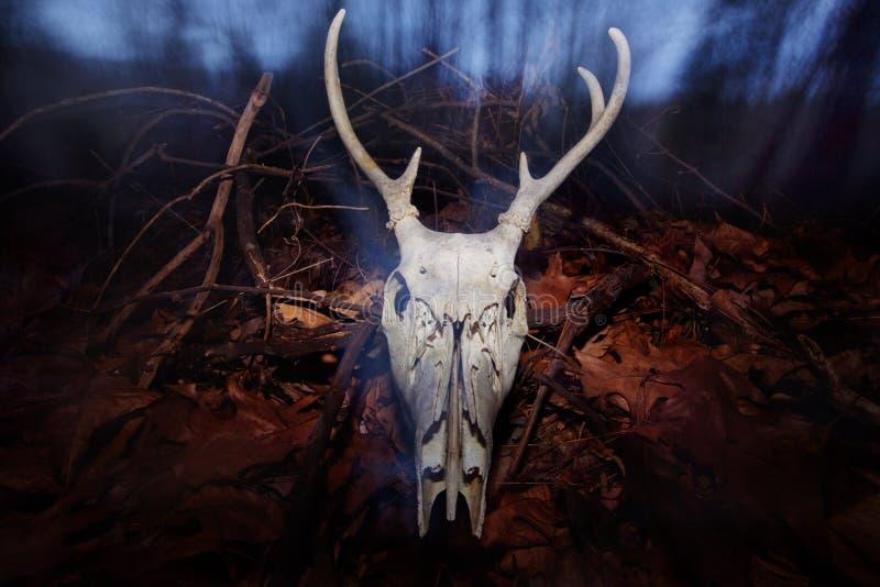 Hjortskalle arkivbild