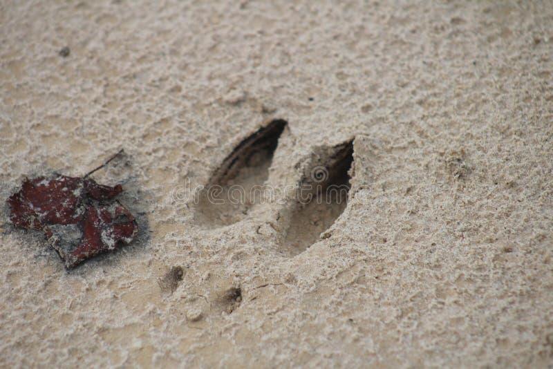 Hjortspår längs liten vikbanken arkivfoto