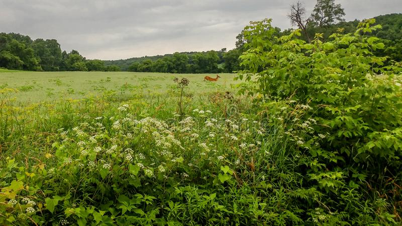 Hjortspring till och med fält i Wisconsin arkivfoton