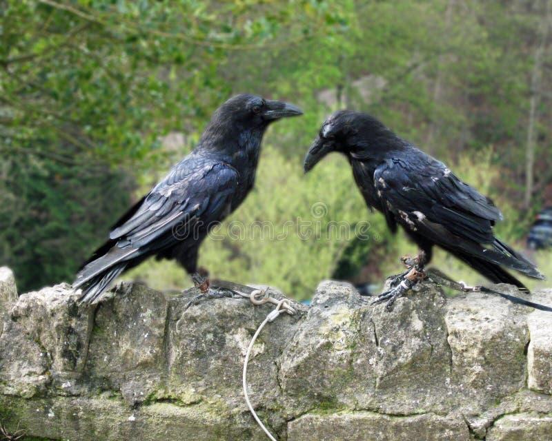 HM Ravens no castelo de Knaresborough imagem de stock royalty free