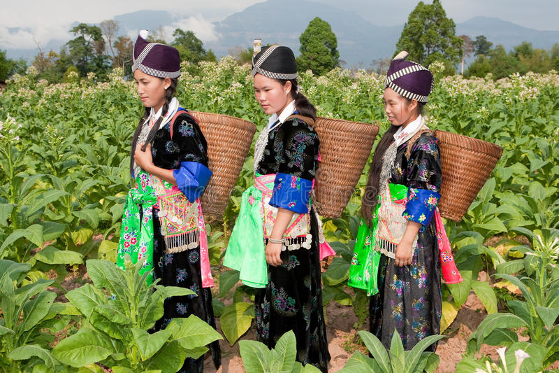 Hmong of Asia harvest tobacco. Women in national costume and in the field stock image