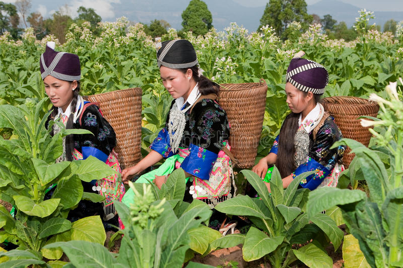 Hmong of Asia harvest tobacco. Women in national costume and in the field royalty free stock image