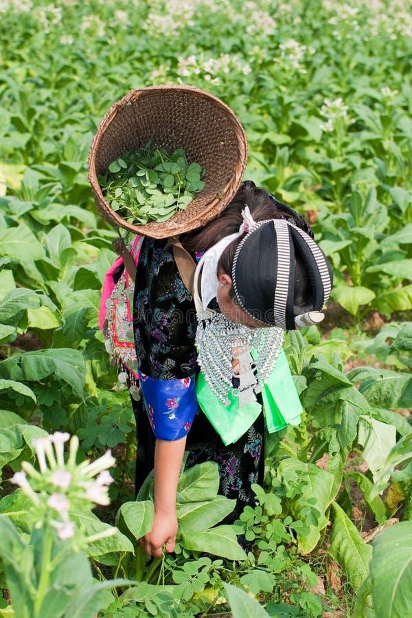 Hmong de Ásia colhe o tabaco fotos de stock