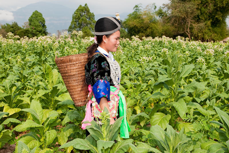 Hmong de Ásia colhe o tabaco fotos de stock royalty free