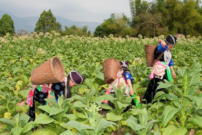 Hmong del tabacco della raccolta dell'Asia fotografie stock