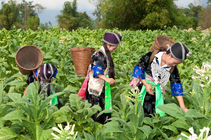 Hmong do tabaco da colheita de Ásia foto de stock royalty free