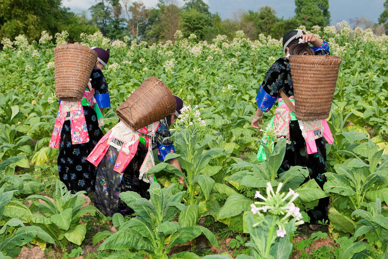 Hmong do tabaco da colheita de Ásia imagem de stock