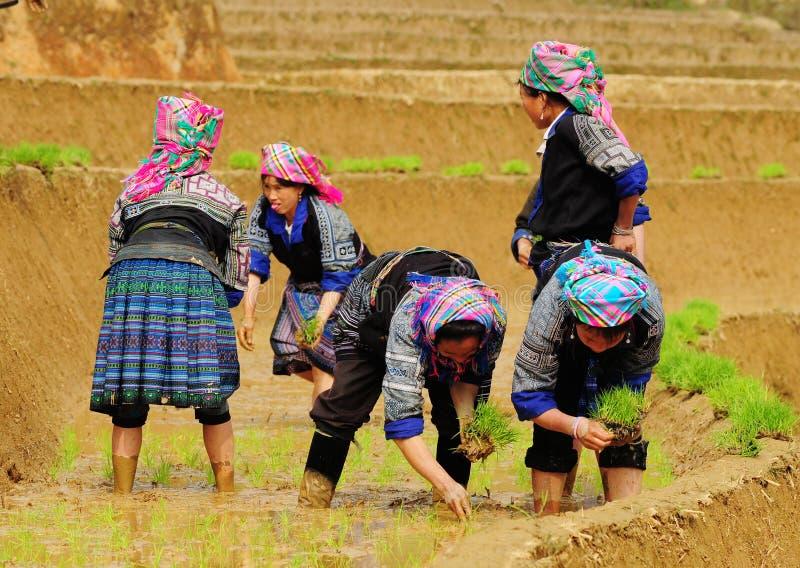 Hmong-Leute, die an Reisfeld in Lai Chau, Vietnam arbeiten stockbilder