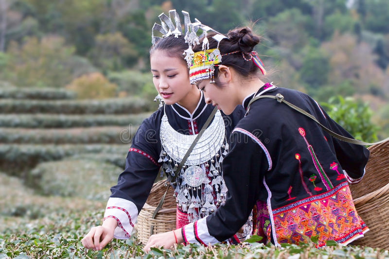 The Hmong women on their traditional dresses are collecting tea leaves. China's Hmong wemen love colorful dresses and scarf, all these cloth is made by their royalty free stock photography