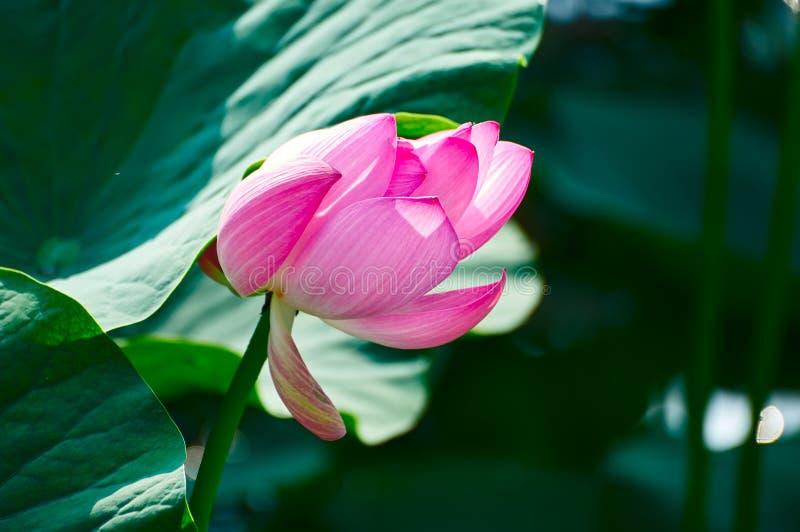 Hoży lotos pod liściem obrazy royalty free