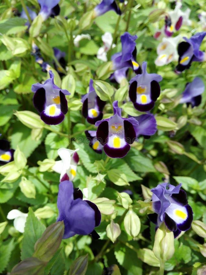 Hoa dalat 图库摄影