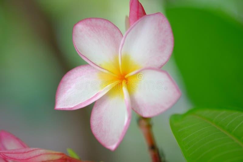 Hoa SU στοκ εικόνες
