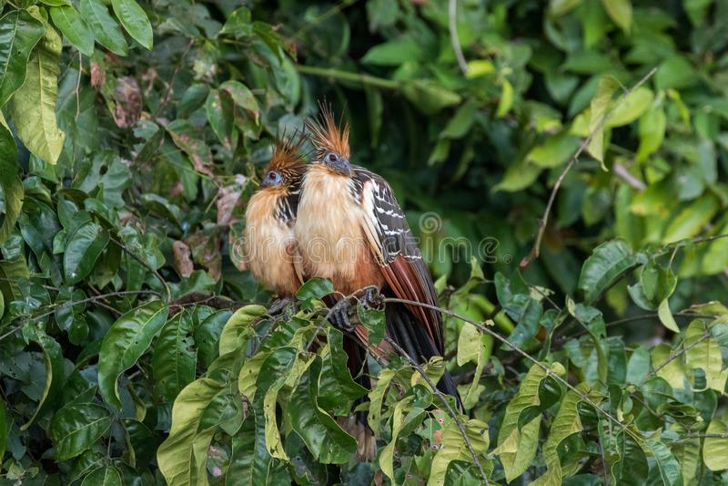Hoacyns seduto su un ramo del lago Sandoval in Perù fotografie stock