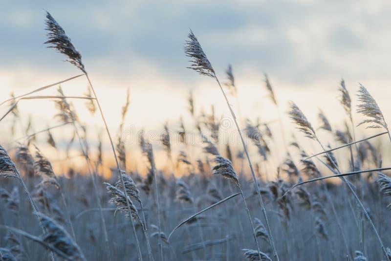 Hoar-παγωμένη ξηρά χλόη καλάμων ενάντια στο ηλιοβασίλεμα στοκ εικόνες με δικαίωμα ελεύθερης χρήσης