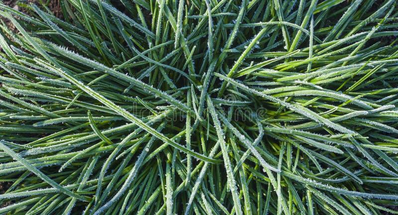 Hoar auf der Anlage grünes Gras gefroren stockbild