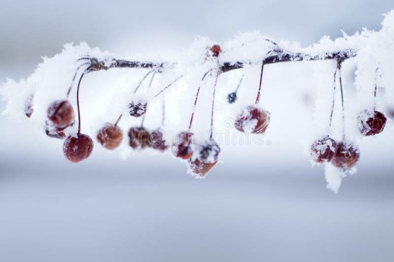 Hoar Frost auf leuchtenden Holzäpfeln lizenzfreies stockbild