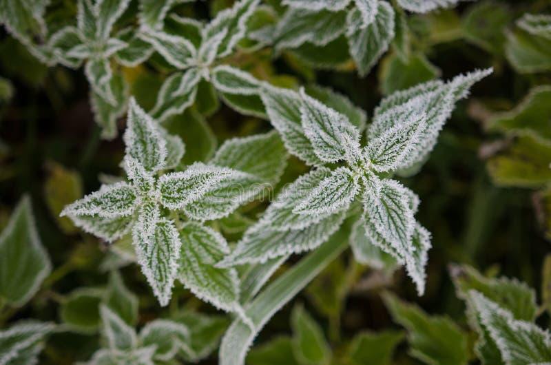 Hoar frost on nettle. Hoar frost on common nettle, october stock photos