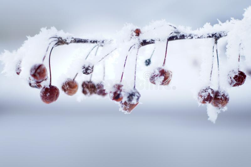 Hoar Frost on Radiant Crab Apples royalty free stock image