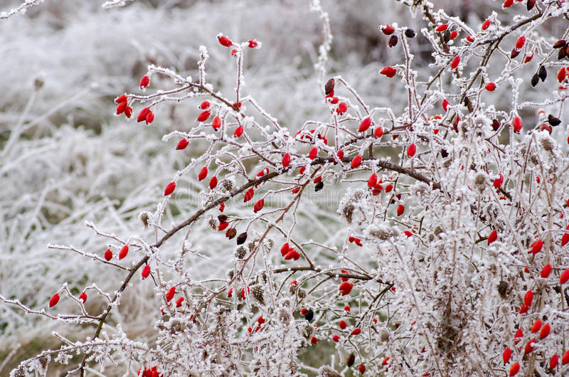 Hoar frost on rose hips. Hoar frost on a canine rose bush royalty free stock images