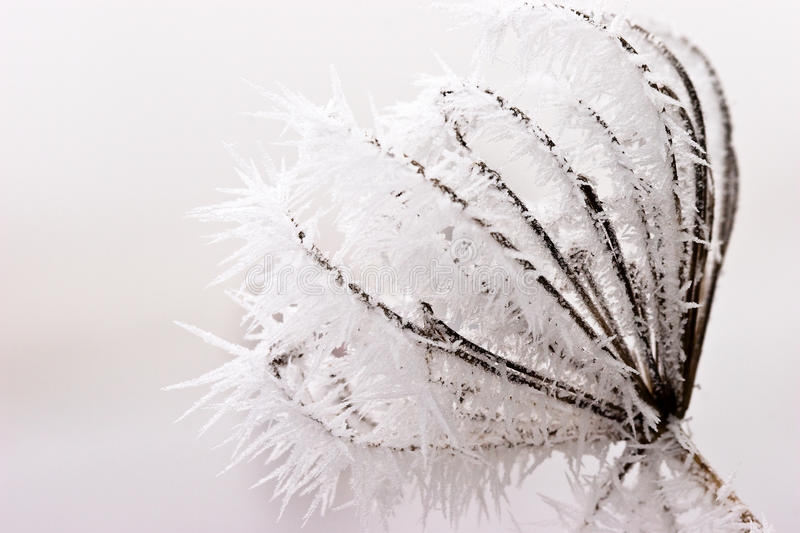 Hoar frost or soft rime on plants at a winter day stock photos