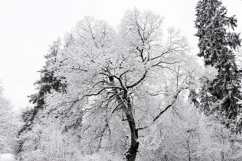 Hoar frost on trees in winter royalty free stock image