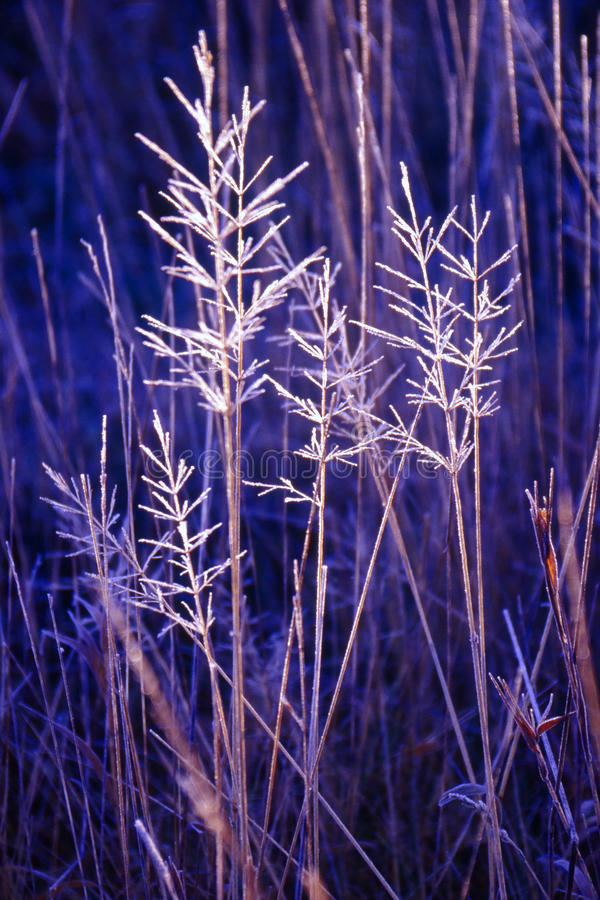 Hoar frosted grasses, wintertime. A clump of meadow grasses, covered by an early winter Hoar frost royalty free stock image