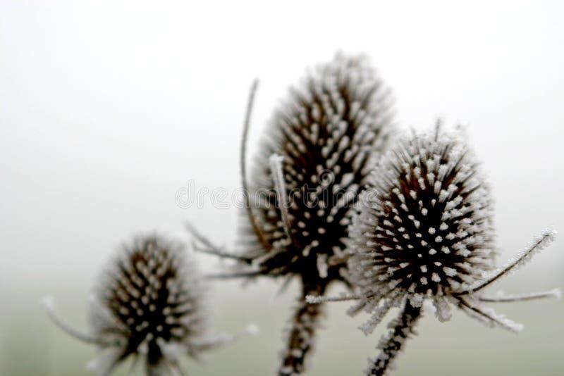 hoar mrozowe roślin fotografia royalty free