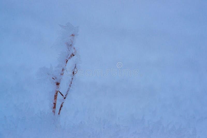 Hoar Snow sur Rose Bush photographie stock libre de droits