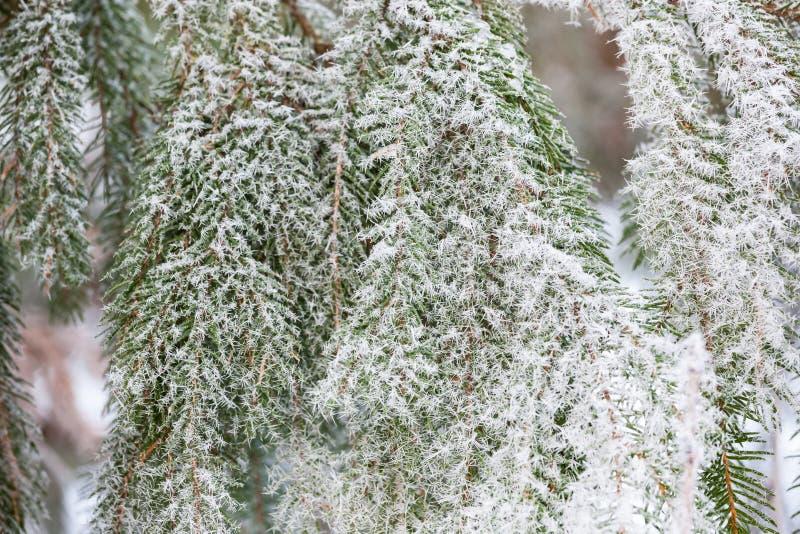 Hoarfrost świerczyna rozgałęzia się zimnego zima dzień zdjęcie stock