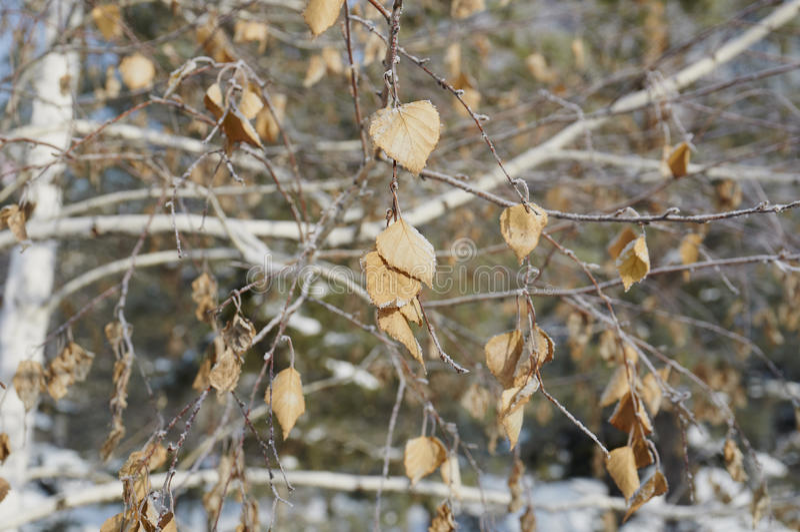 Hoarfrost στα φύλλα στοκ εικόνα