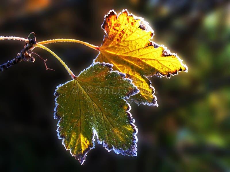 Hoarfrost auf zwei Blättern einer Korinthe lizenzfreies stockfoto