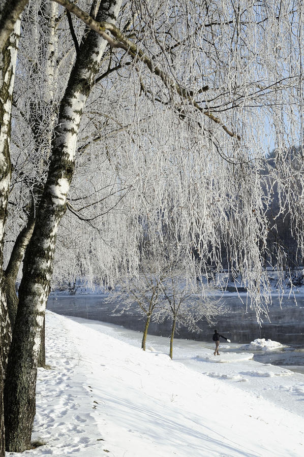 Hoarfrost on birch branches stock photos