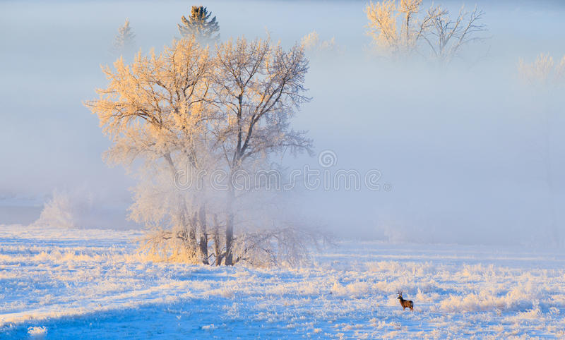 Hoarfrost covered trees in early morning light with a Mule Deer. Buck in the foreground on a cold winter day in Calgary, Canada royalty free stock images