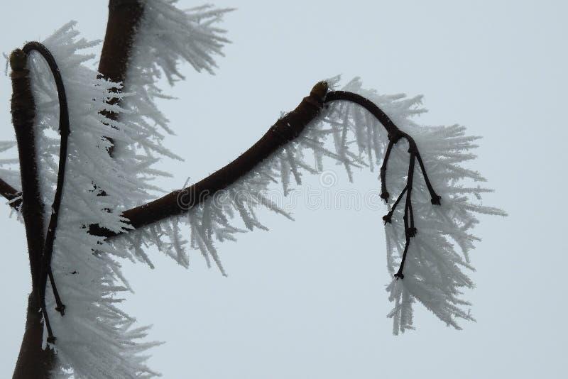 Hoarfrost na gałąź drzewo tworzył w lodowatych i wietrznych warunek pogodowy obraz royalty free