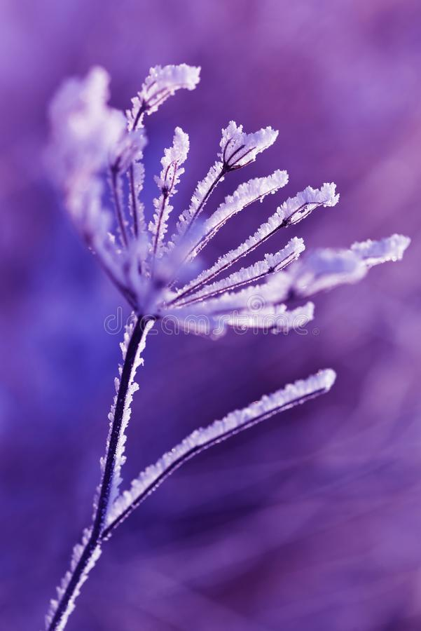 Hoarfrost on the plant close up. stock images