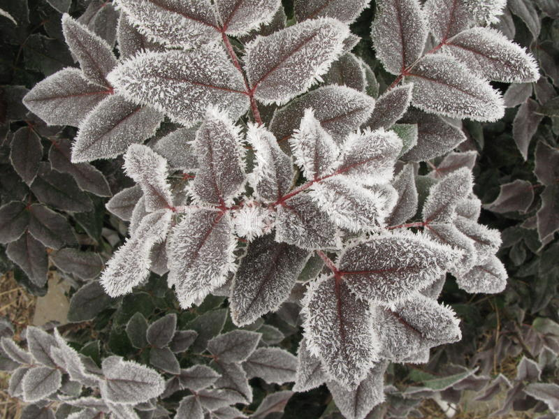 Hoarfrost on tree leaf. This is a white hoarfrost on tree leaves royalty free stock photo