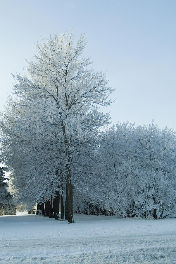 Wintry Grove royalty free stock image