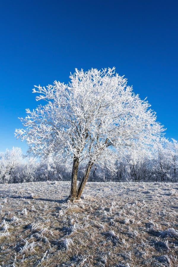 Hoarfrost zakrywający drzewo obraz royalty free