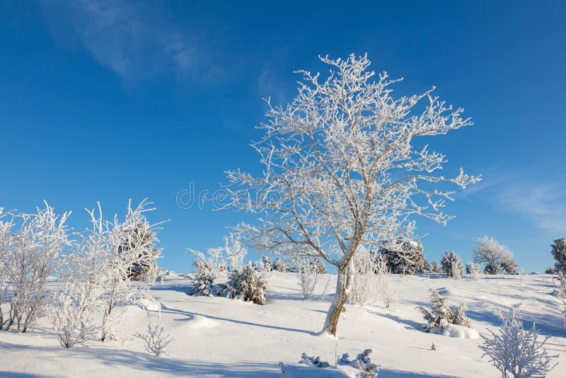 Hoarfrost zakrywający drzewo obrazy royalty free