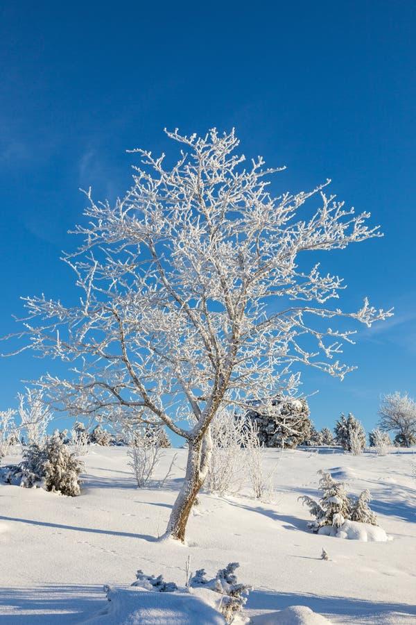 Hoarfrost zakrywający drzewo fotografia royalty free