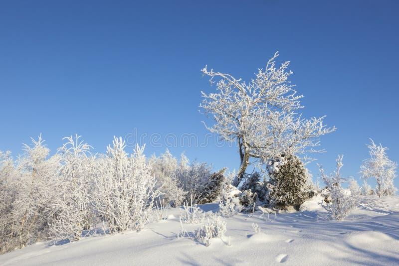 Hoarfrost zakrywający drzewo przy zimą zdjęcia royalty free