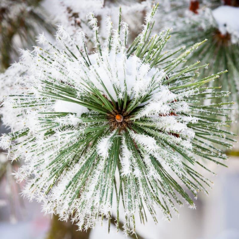 Hoarfrost zimy świerkowy zimny dzień obraz royalty free