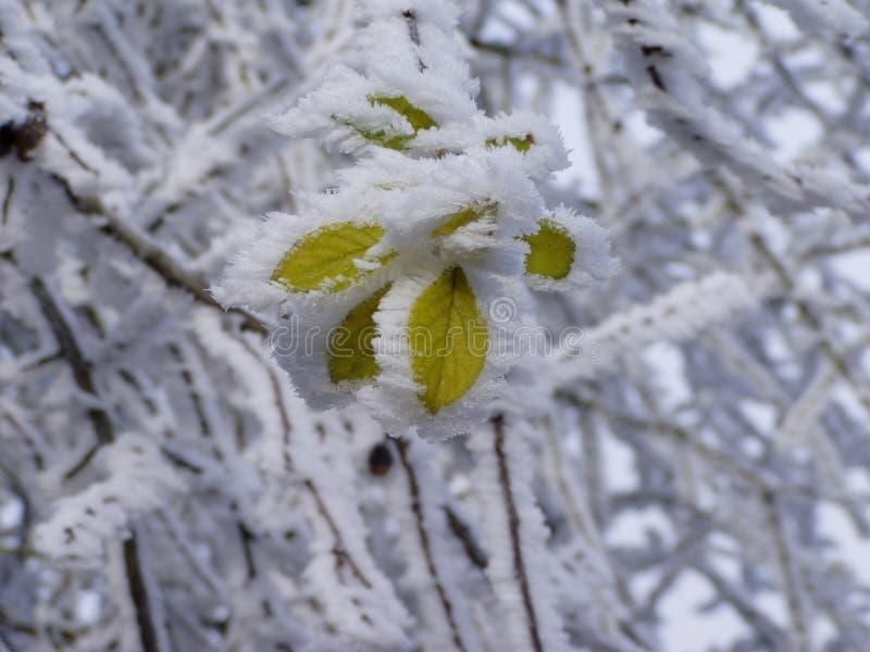 hoarfrosted liście zdjęcie stock