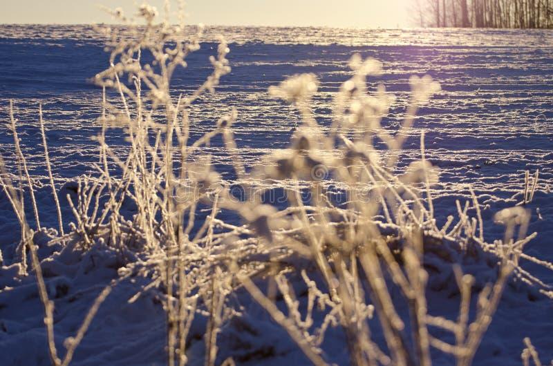 Hoarsfrost bonito do inverno em plantas e em luz solar do nascer do sol imagens de stock royalty free