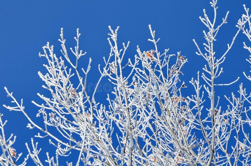 Hoarvorst op een boom met blauwe hemelachtergrond royalty-vrije stock afbeelding